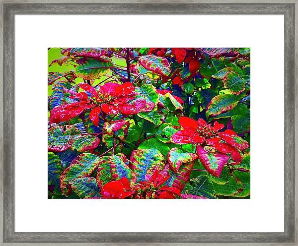 Red Hawaiian Poinsettias In Puna Framed Print