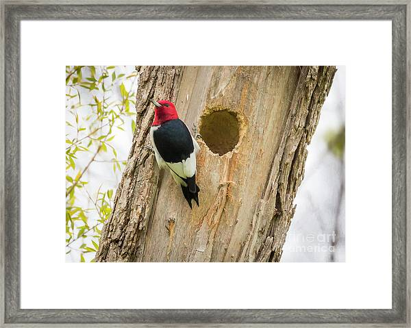Red-headed Woodpecker At Home Framed Print