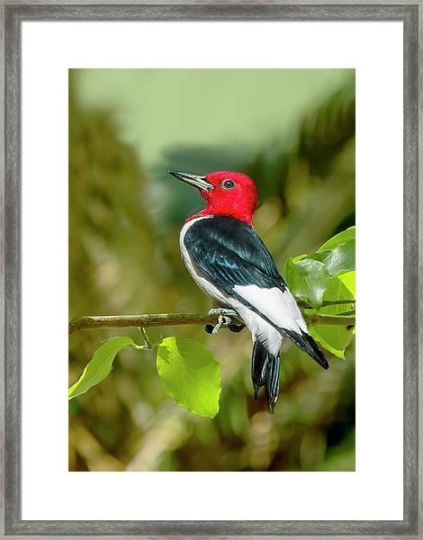 Red-headed Woodpecker Portrait Framed Print