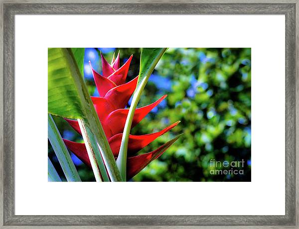 Red Heliconia Hawaii Framed Print by D Davila