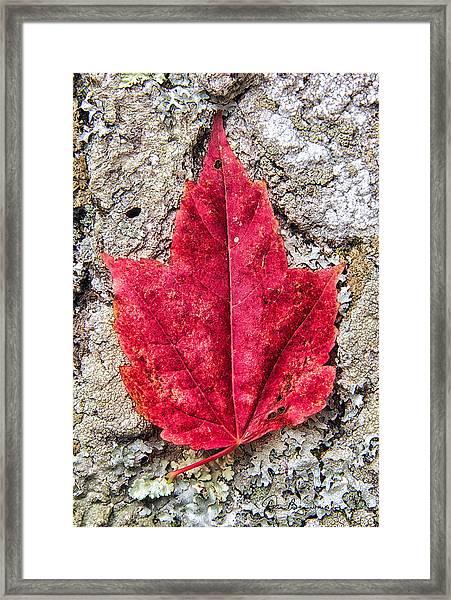 Red Leaf, Lichen 8797 Framed Print