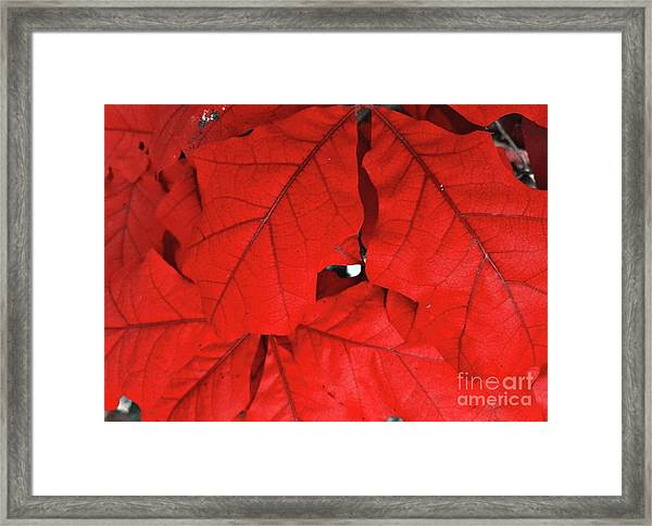 Red Leaves  Framed Print by Rachel Hannah