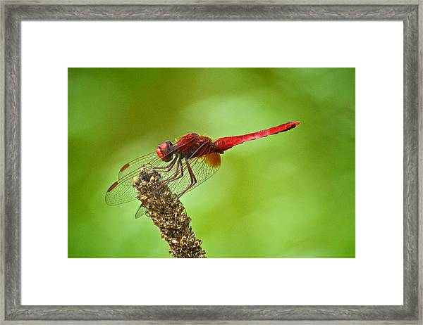 Red Male Dragonfly Crocothemis Erythraea Perching Framed Print by Igor Voljch