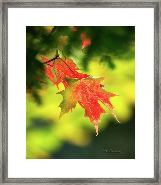 Red Maple Leaves 4983 Framed Print