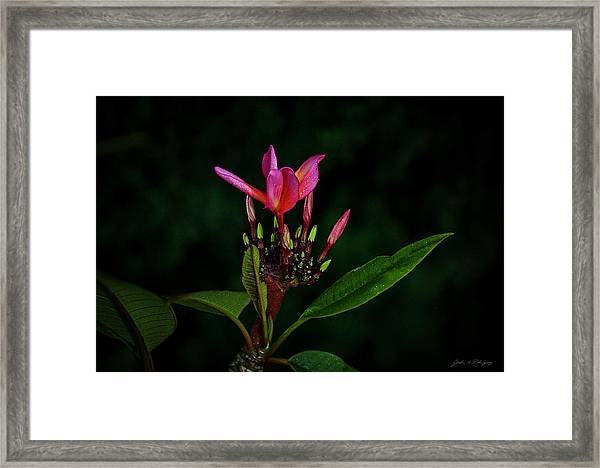 Red Plumeria Framed Print