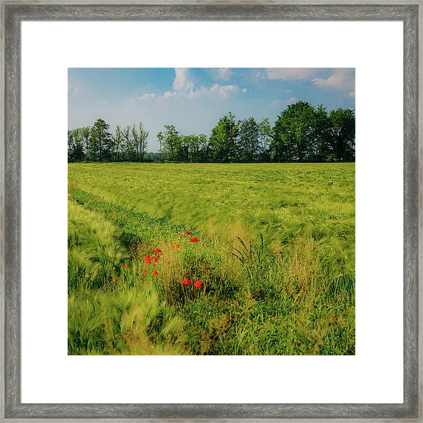 Red Poppies On A Green Wheat Field Framed Print