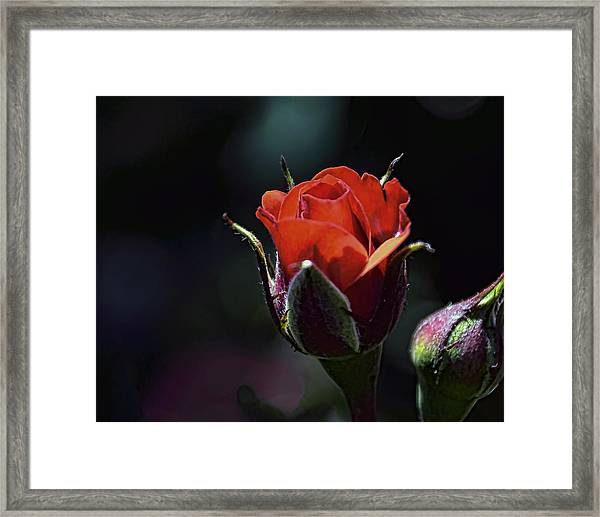 Framed Print featuring the photograph Red Red Rose by William Havle