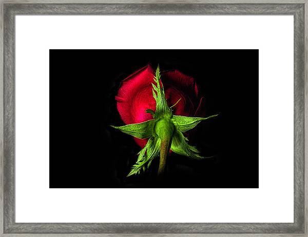 Red Rose In Reverse Framed Print by Zev Steinhardt