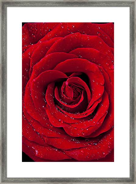 Red Rose With Dew Framed Print