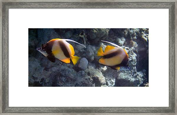 Red Sea Bannerfish 2 Framed Print