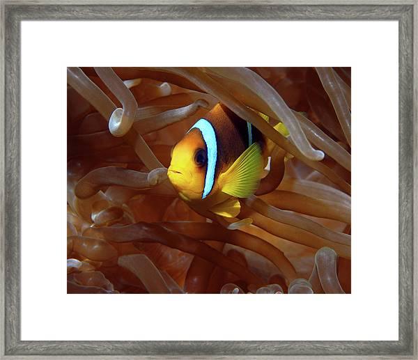 Red Sea Clownfish, Eilat, Israel 8 Framed Print