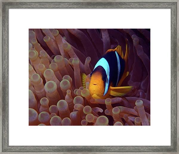 Red Sea Clownfish, Eilat, Israel 9 Framed Print