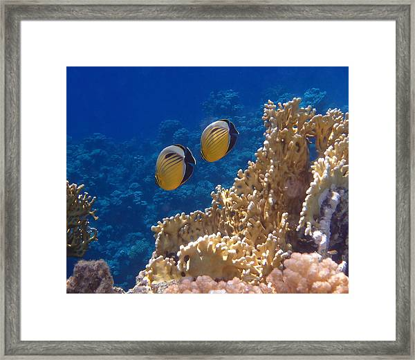 Red Sea Exquisite Butterflyfish  Framed Print