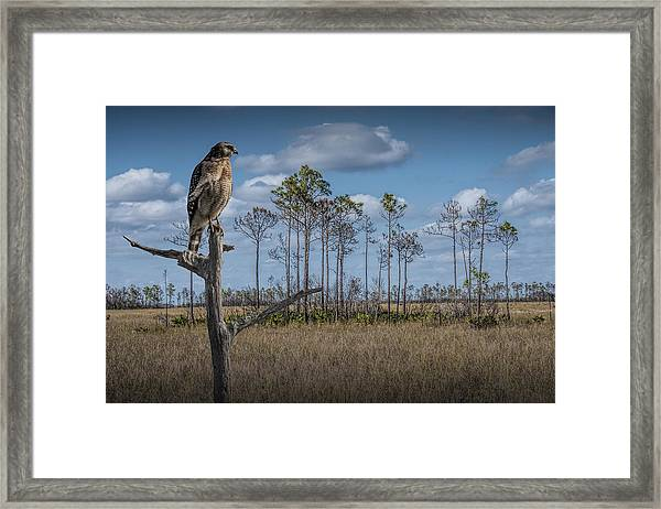 Red Shouldered Hawk In The Florida Everglades Framed Print