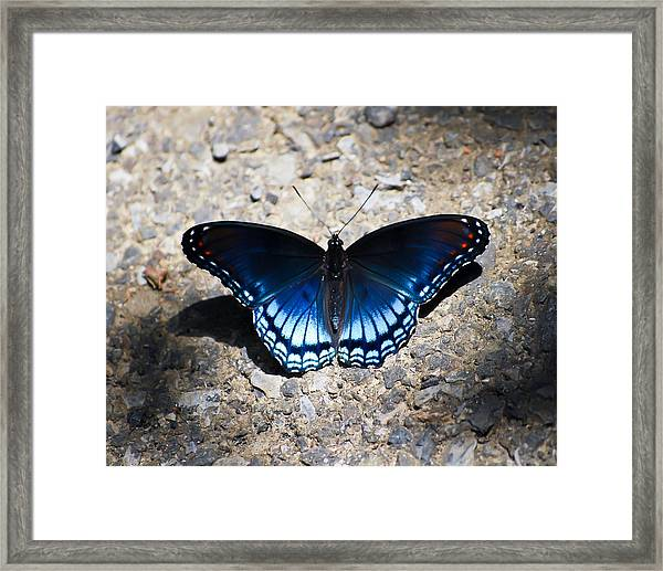 Red-spotted Purple Butterfly Framed Print
