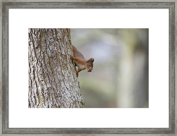 Red Squirrel Climbing Down A Tree Framed Print