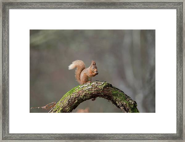 Red Squirrel Eating A Hazelnut Framed Print