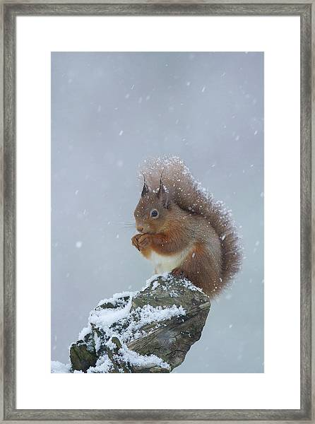 Red Squirrel In A Blizzard Framed Print
