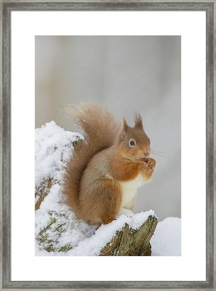 Red Squirrel In The Snow Side On Framed Print
