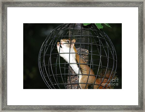 Red Squirrel Jail Framed Print