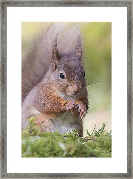 Red Squirrel - Scottish Highlands #1 Framed Print