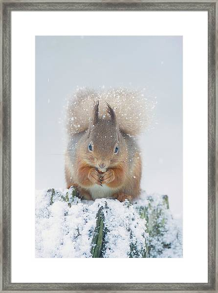 Red Squirrel Nibbles A Nut In The Snow Framed Print