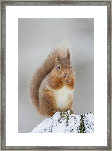 Red Squirrel Nibbling A Hazelnut In The Snow Framed Print