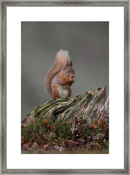 Red Squirrel Nibbling A Nut Framed Print
