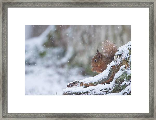 Red Squirrel On Snowy Stump Framed Print