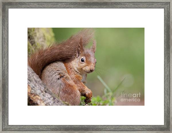 Red Squirrel - Scottish Highlands  #17 Framed Print