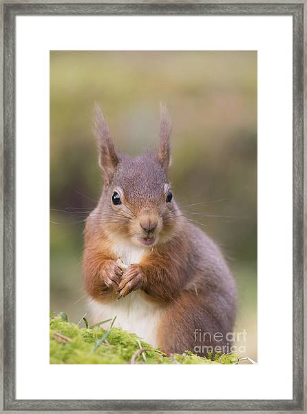Red Squirrel - Scottish Highlands #18 Framed Print