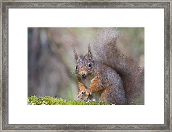 Red Squirrel - Scottish Highlands #26 Framed Print