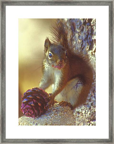 Red Squirrel With Pine Cone Framed Print