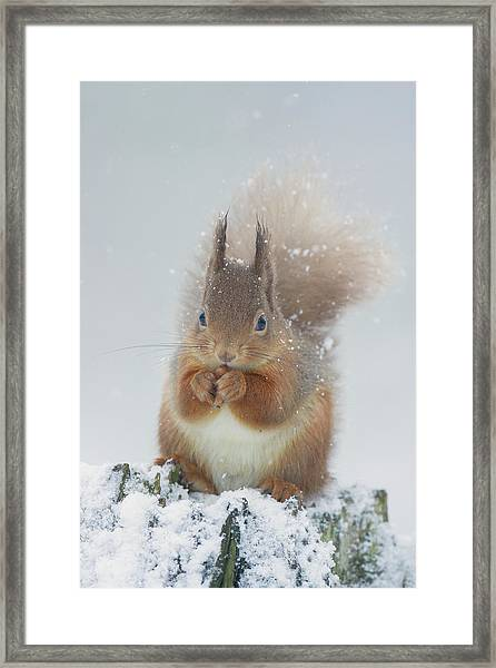 Red Squirrel With Snowflakes Framed Print