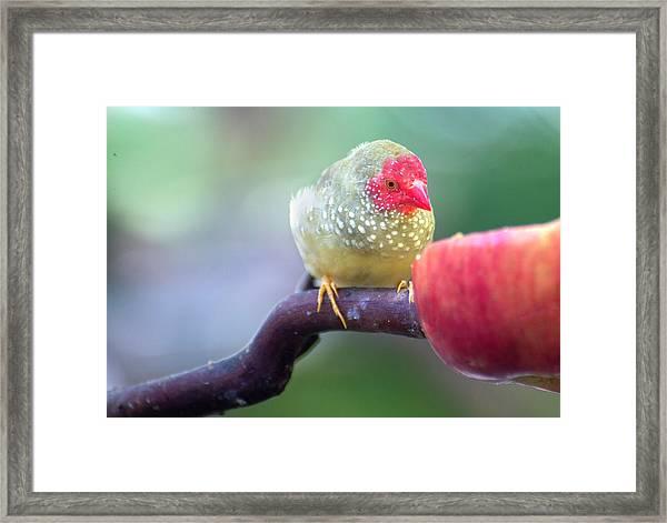 Red Star Finch Framed Print