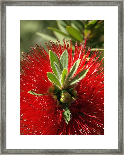 Red Surprise Framed Print