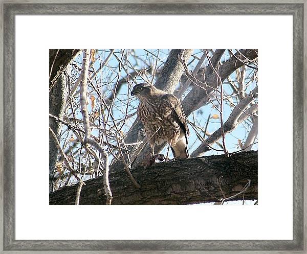 Red Tail Hawk Framed Print