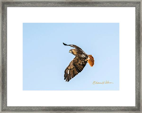 Red-tail Hawk In Flight Framed Print