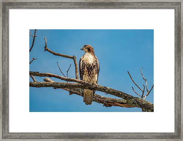 Red Tail Hawk Perched Framed Print