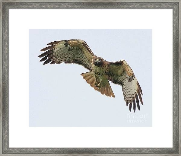 Red Tailed Hawk Finds Its Prey Framed Print