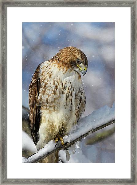Red Tailed Hawk, Glamour Pose Framed Print