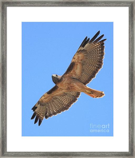Red Tailed Hawk In Flight Framed Print
