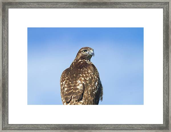 Red-tailed Hawk Perched Looking Back Over Shoulder Framed Print