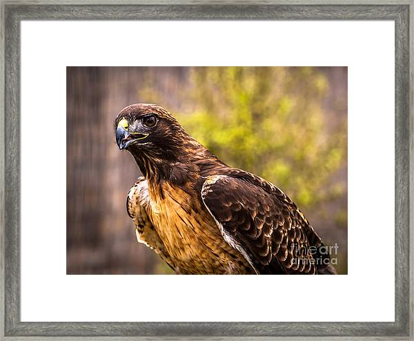 Red Tailed Hawk Profile 2 Framed Print