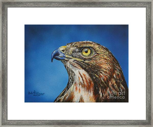 Red-tailed Hawk......honor Framed Print