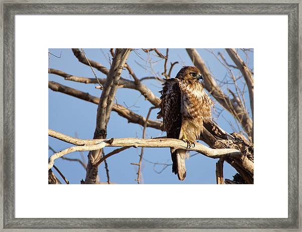 Red Tailed Framed Print