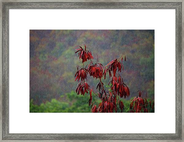 Red Tree In The Rain Framed Print