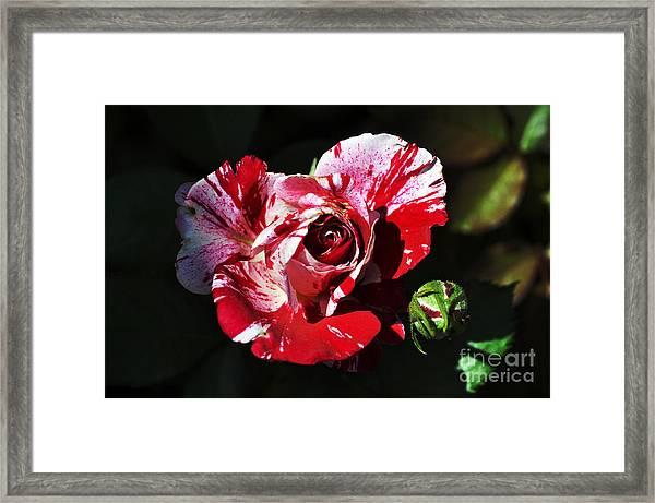 Red Verigated Rose Framed Print