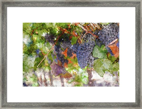 Red Wine Grapes On The Vine In Wine Country Framed Print
