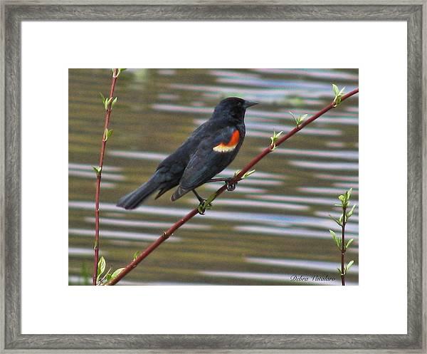 Red Wing Black Bird Framed Print by Debra     Vatalaro